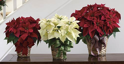 3-poinsettia-plants-env